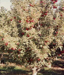 008 1991 apple tree